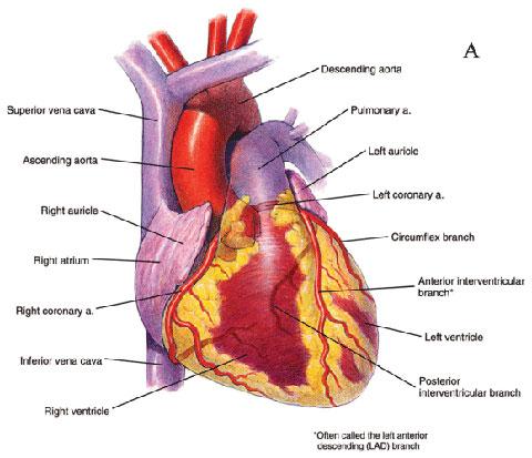Anterior View Heart