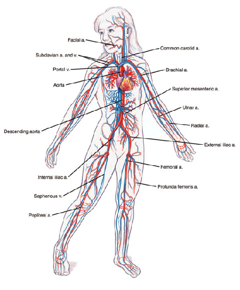 Arteries Veins